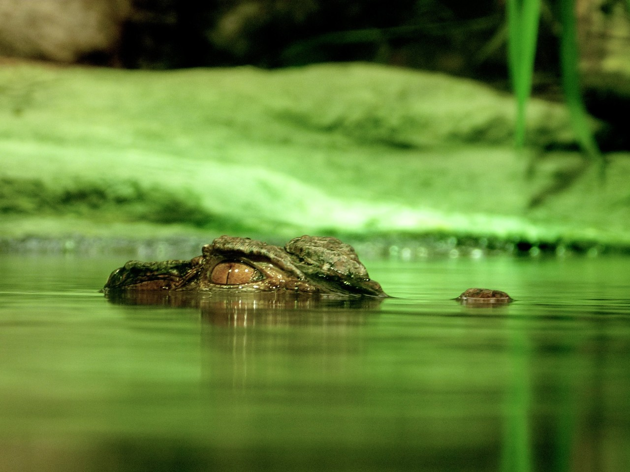 alligator peeking out of the water