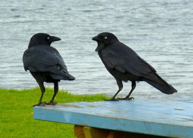 ravens-236333_640